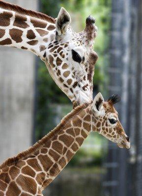 Die Giraffe mit ihrem Nachwuchs