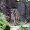 Der Puma hat vieles mit einer Hauskatze gemeinsam - mehr als mit einem Löwen.