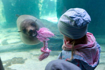 Den Seebären kannst du unter Wasser beim Spielen beobachten.