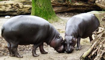 Zwergflusspferde im Zoo Duisburg.