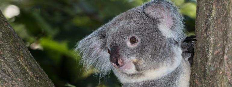 Zu den Highlights im Zoo Duisburg gehört u.a. das Koala-Haus.