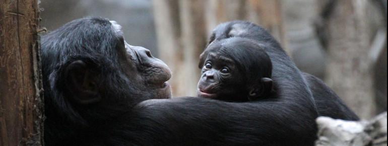 Erfolgreiches Zuchtmanagement auch bei den Bonobos im Zoo Leipzig.