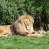 Auch Löwe Matadi lebt im Leipziger Zoo.