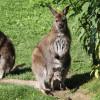 Das Bennettkänguru-Baby ist bei der Geburt nur etwa 5 Zentimeter groß und verbringt die ersten Lebensmonate im Beutel der Mutter.