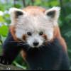 Ursprünglich sind Rote Pandas im östlichen Himalaya und im Südwesten Chinas beheimatet.