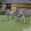 Der Linzer Tiergarten ist auch das Zuhause einiger Chapman-Zebras.