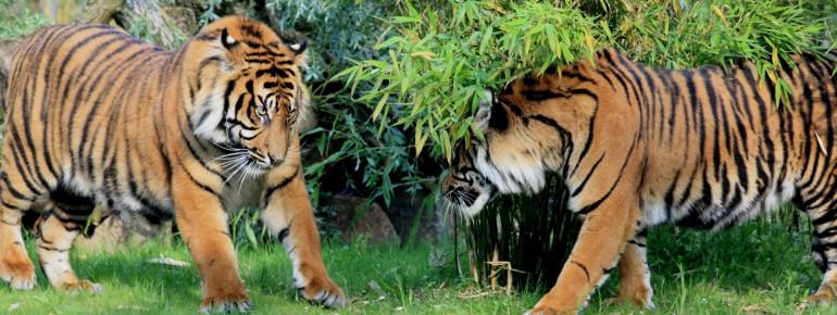 Die Sumatra Tiger findest du in der Angkor Wat Tierwelt.
