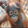 Zu jeder Jahreszeit gibt es im Zoo Rostock Tierkinder. Hier ist der Orang-Utan-Nachwuchs Surya zu sehen.