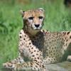 Besuche das Geparden-Haus im Zoo Rostock, um diese Raubkatze mit eigenen Augen zu sehen!