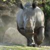 Nashörner bevölkern die Erde schon seit 50 Millionen Jahren.