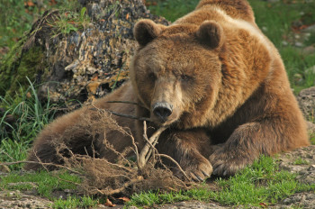 Ein Braunbär bringt bis zu 250 kg auf die Waage.