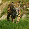 Respekt einflößend: der in Südamerika heimische Jaguar.