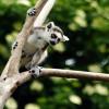 Kattas gehören zu den Lemuren und sind nur auf Madagaskar beheimatet.