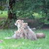 Der Geparden-Nachwuchs im Salzburger Zoo.