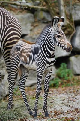 Gefährdete Tierarten werden im Salzburger Zoo erfolgreich nachgezüchtet: Im Oktober 2018 wurde das allererste Grevy-Zebrafohlen geboren.