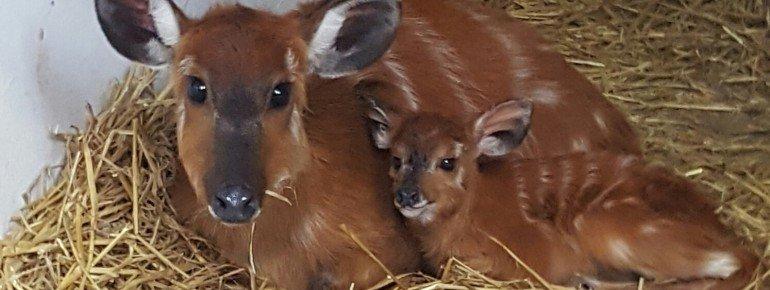 Das Sitatunga-Antilopenweibchen mit ihrem Jungen.
