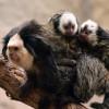Das Weißgesichtskrallenäffchenmännchen mit ihrem Nachwuchs.