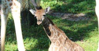 Die Giraffen kann man auf Augenhöhe beobachten.