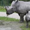 Die Nashörner leben auf dem großen Savannengehege des Zoos.