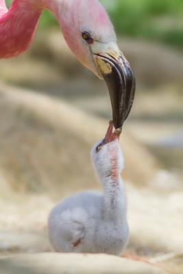 Mit ihrem mehr oder weniger intensiv rosafarbenem Gefieder sind Flamingos ein echter Hingucker im Zoo.