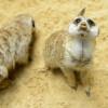 Perfekt getarnt sind die kleinen Erdmännchen im Berliner Zoo.