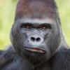 Ist nicht so grummelig wie er aussieht: Einer der Gorillas im Zoo.