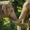 Asiatische Elefanten sind sehr treue, fürsorgliche Tiere. Sonst in Süd- und Südostasien daheim, haben sie auch im Zoo Berlin ein schönes Zuhause.