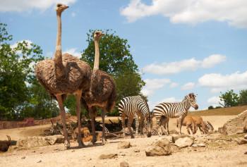 In der Grassavanne leben Straußen und Zebras mit Antilopen zusammen.