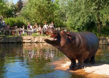 Flusspferde siehst auf der African Queen Bootssafari.