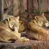 In der Erlebniswelt Afrika kannst du Löwen beobachten.