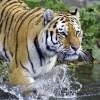 Der Armurtiger wird auch Sibirischer Tiger genannt.