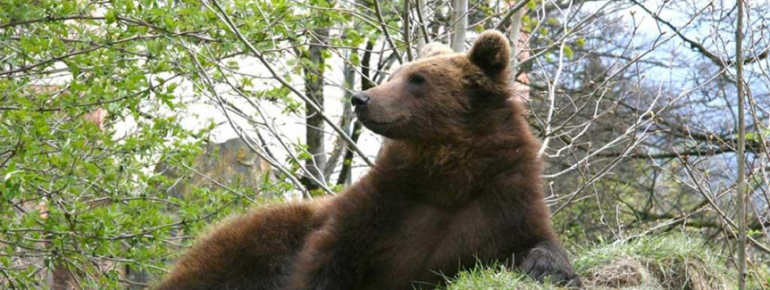 The bear is one of the major stars in the Alpenzoo