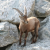 An ibex feeling at home within an Alpine scenery