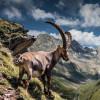 The ibex is the heraldic animal of the Pitztal.