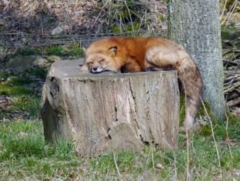 The fox taking a rest.