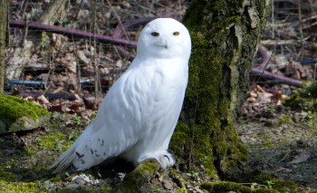 A beautiful snow owl.
