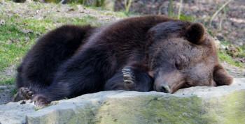 A brown bear taking a nap.