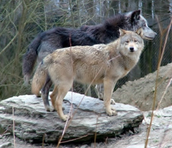Watch the wolves.