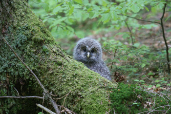 If you take binoculars, you might even be able to spot animals like the Ural owl.