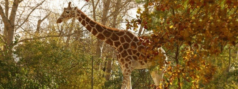 This giraffe is one of the 800 animals living at Calgary Zoo