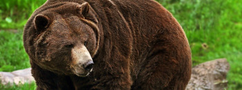 A North American landmark: the Grizzly bear