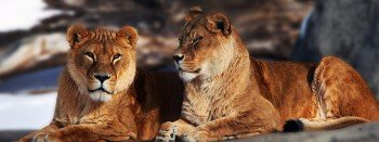 Any realm requires a king: two lions from the African savannah