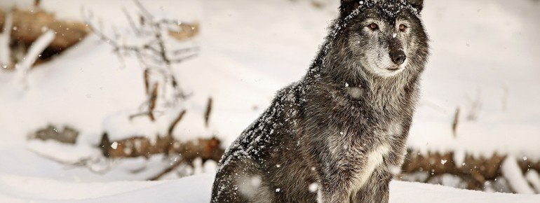 Even wolves are a part of the multitude of animals at Calgary Zoo