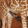 A giraffe baby drinks from its mother