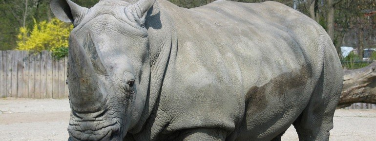 Rhinoceros are at home here