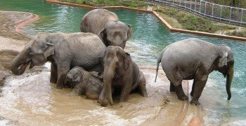 Elefants taking their bath