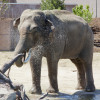 Close up of an elephant drinking water at Denver Zoo. They drink around two hundred liters of a water a day.