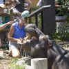 Trainers feeding a hungry hippopotamus at Denver Zoo.