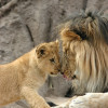 A lion and a lion cub at Denver Zoo, Colorado.
