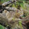 Wildcat at Hainich